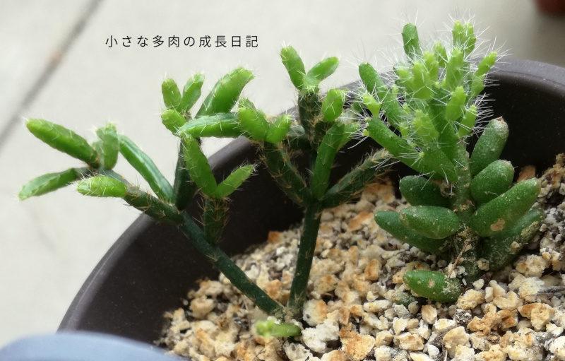須磨柳と女仙葦