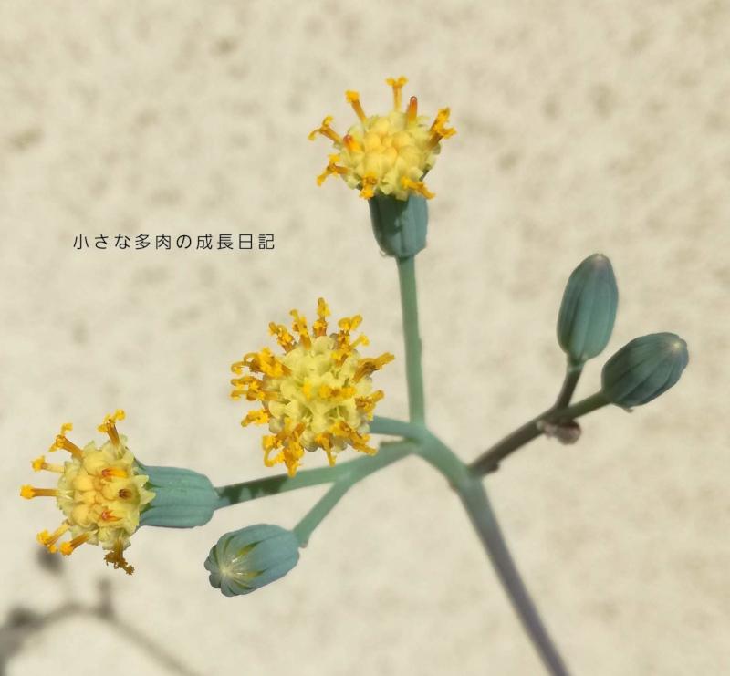 マサイの矢尻の花